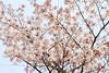 Photo:IMG_0686 国営昭和記念公園 染井吉野 By vicjuan