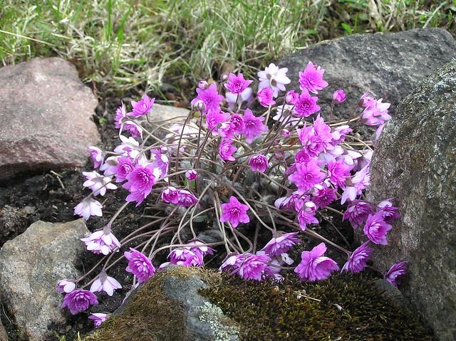 Hepatica nobilis 'Rubra Plena'