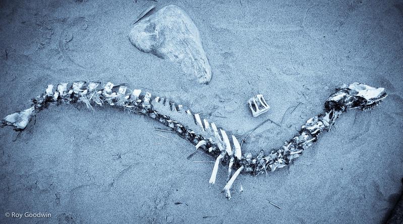 Seal Skeleton