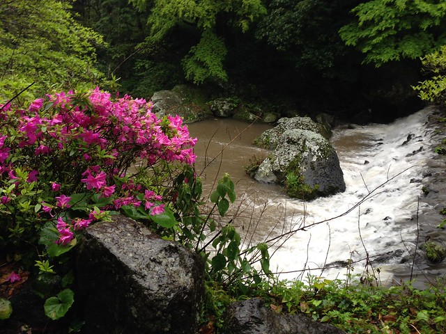 Azaleas by the river at Cheonjiyeon Waterfall