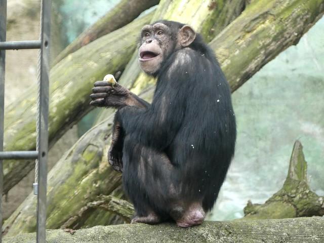 Schimpanse, Zoo am Meer