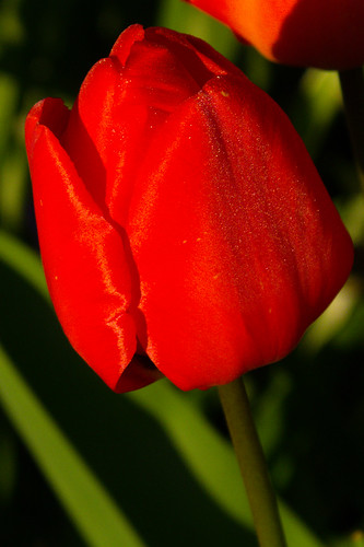 Tulip with slightest trace of frost