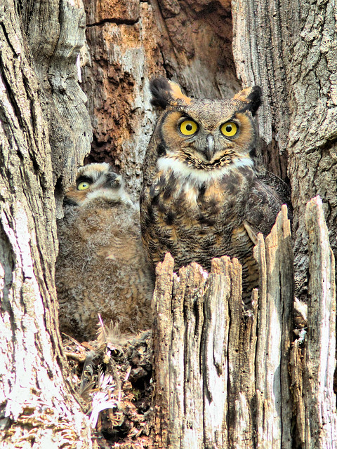Great Horned Owl and Owlet HDR 01-20160506