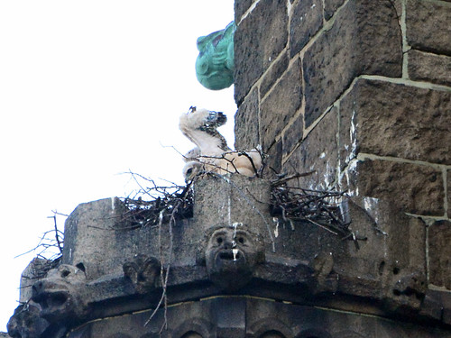 Cathedral Hawk Nestling - 8302