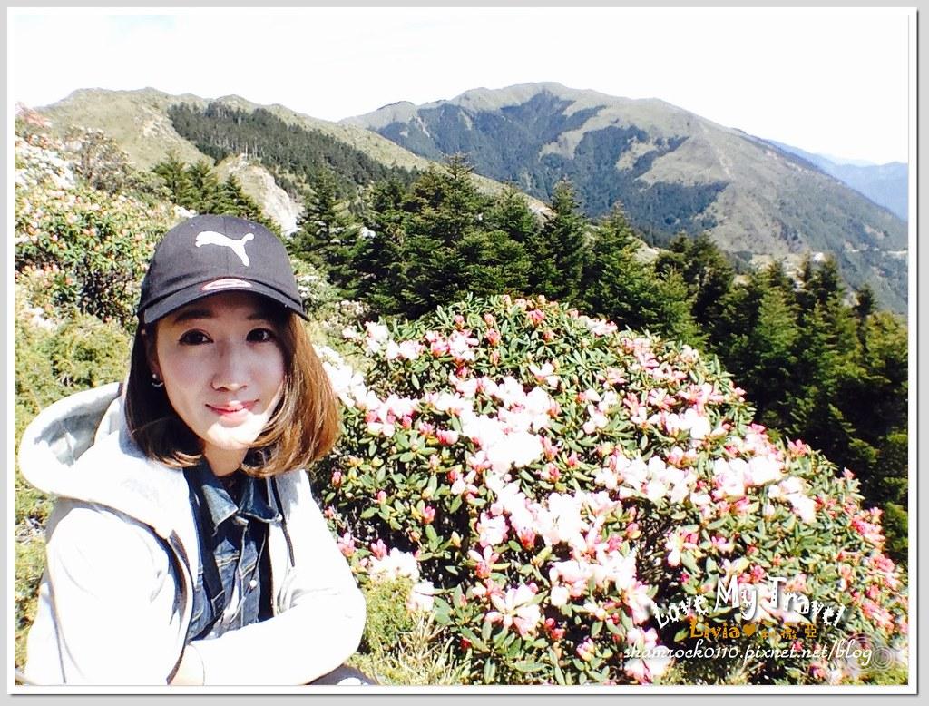 合歡山杜鵑花 -22