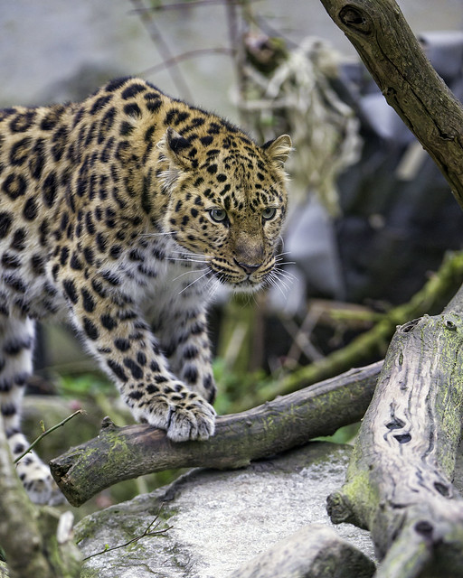 Young leopardess with a paw on the branch
