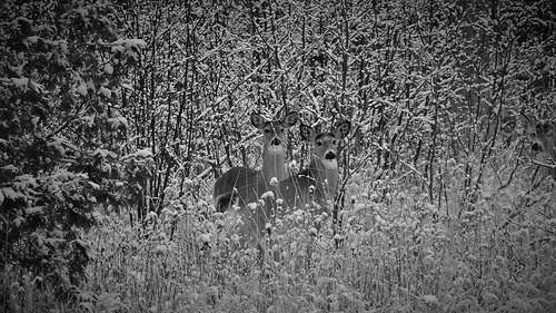 3 whitetail