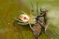Dictynid Spider (Nigma puella) catching a small fly (Muscidae)