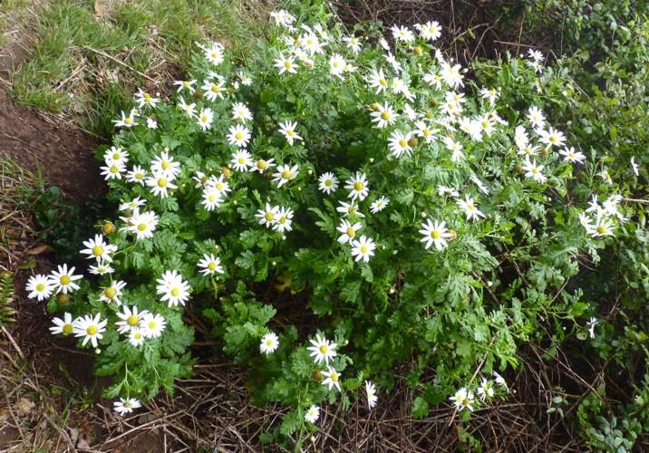 Argyranthemum broussonetii 16669257143_37c9ab6fd5_o