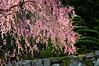 Photo:枝垂れ桜 By kayakaya