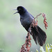 Brewer's Blackbird by Anna Wrobel