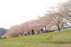 Photo:IMG_0149 染井吉野 By vicjuan