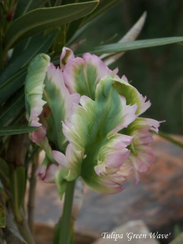 Tulipa 'Green Wave'