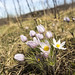 Pasque Flowers by gamelaner