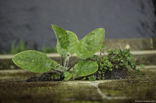 Hieracium glaucinum gr.