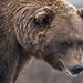 Brown Bear by natugraphy