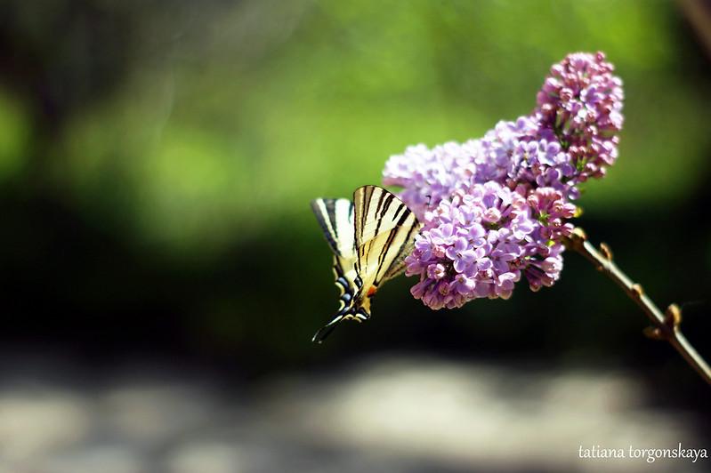 Бабочка на сирени