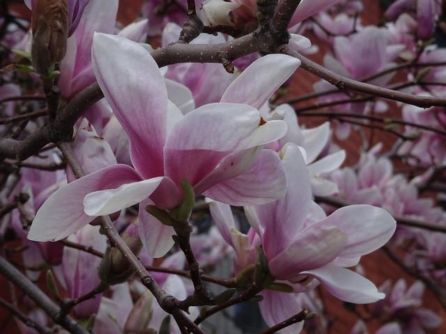 A Profusion of Magnolias