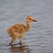 Sandhill Crane Chick by Photomatt28