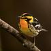 DSC01900-EditBlackburnian Warbler 1 by kevinbolton56