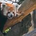 Red panda panting