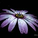 droplets weigh down the petals by Dave Vowles