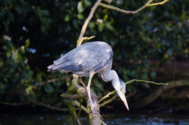 On guard, fishing, preening, near the nest