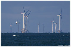 HolderDS0D1737-Gannet-and-wind-farm