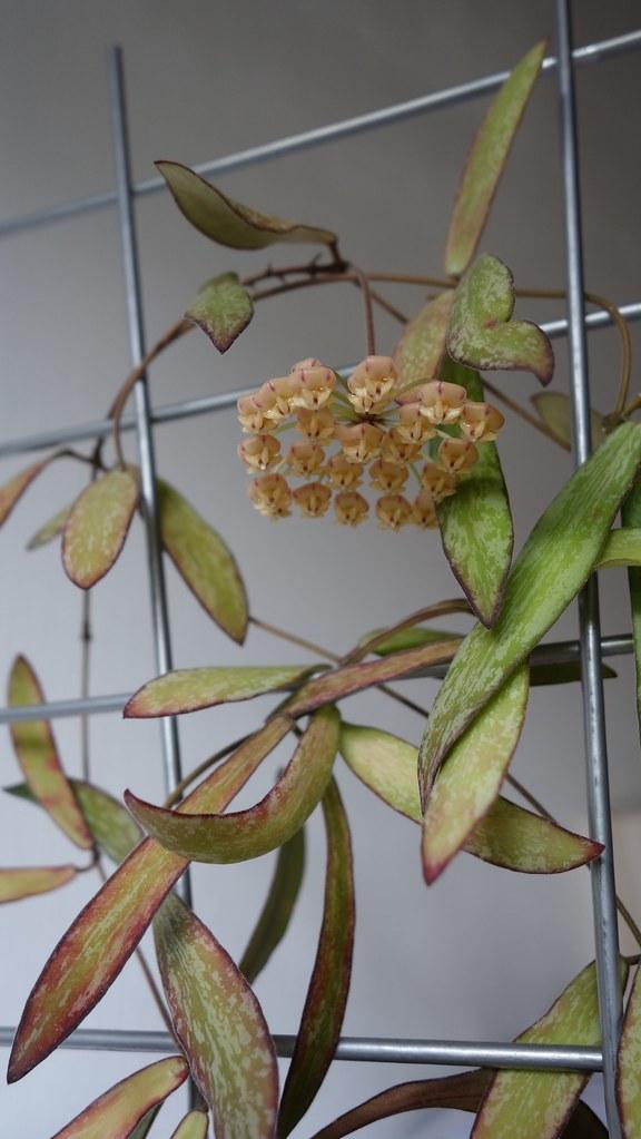 Hoya sigillatis 16521476064_63fbc18b6e_b