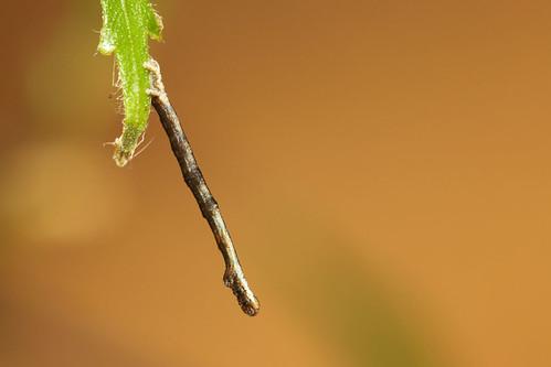 macro gloucestershire caterpillar micro moths british larva thrupp canaryshoulderedthorn ennomosalniaria