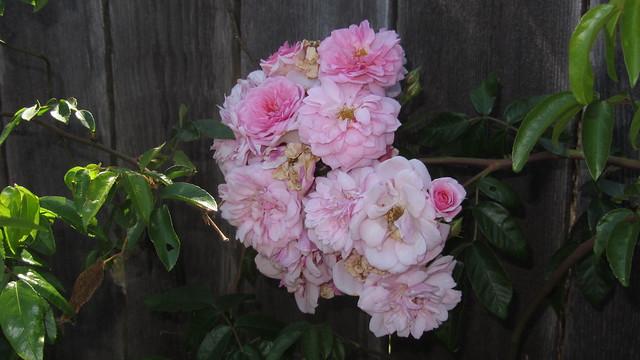 IMG_1339 renae rose