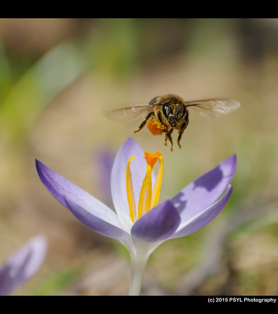 Apis mellifera visiting Crocus sp. flowers