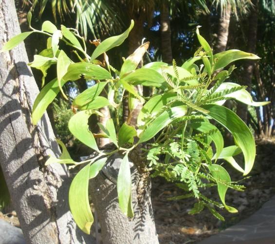 Acacia koa 17029177116_7941730dae_o