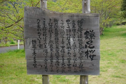 9_矢那川ダム広場の桜_3