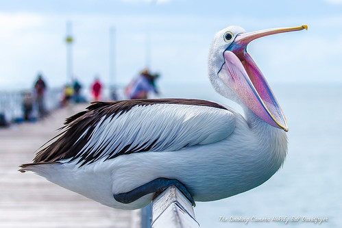 art birds canon bay pier flickr image australia pelican views queensland mk2 hervey 500 1000 100400mm 6d urangan