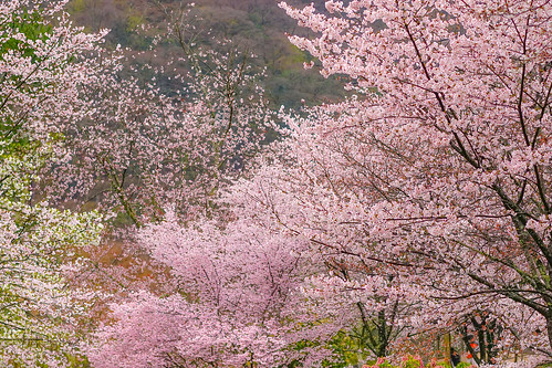 Sakura at Arashiyama, Kyoto
