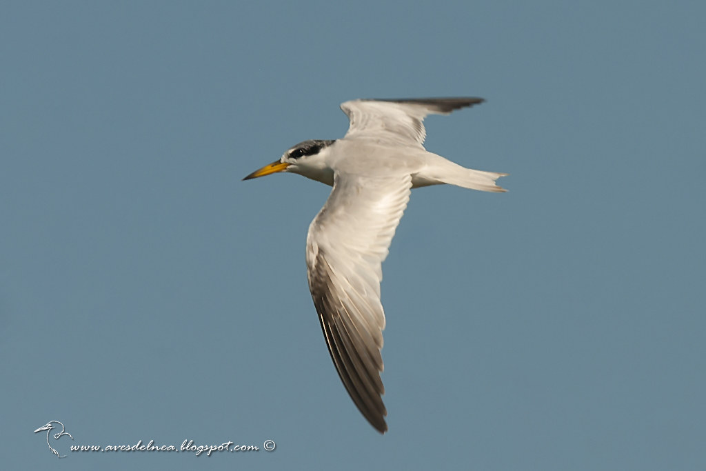 Gaviotín chico común (Yellow-billed Tern) Sternula superciliaris