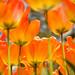 best tulips ever-2 by starrienight