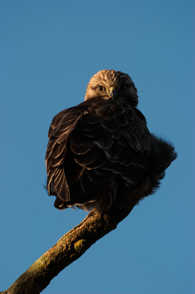 A rough-legged hawk perches on a moss-covered branch in the afternoon sunlight