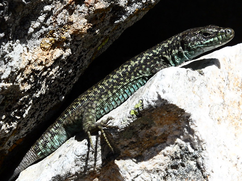 Peñalara. Alpino. Artrópodos, anfibios y reptiles 17740296372_9b46c751c1_c