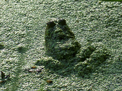 duckweed disguise
