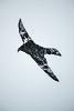 falcon - sokol