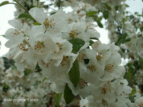 Malus perpertu 'Everest'