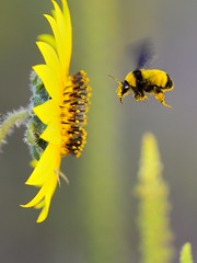 Sunflower and bumblebee 2