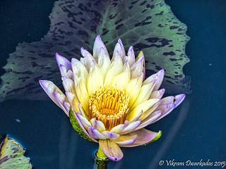 Water Lily - Chicago Botanic Gardens
