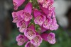 Cluster of foxglove flowers
