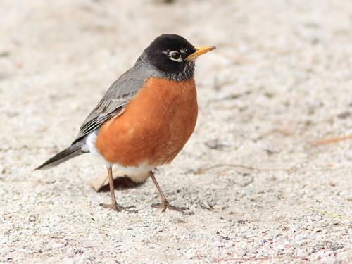 American Robin 4-20150422