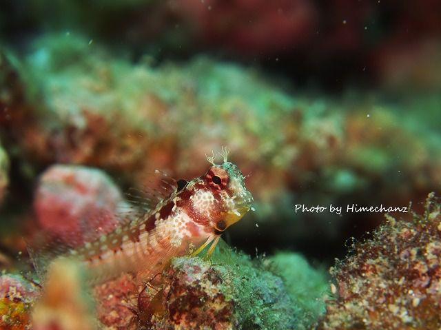 ちっこくてかわいかった!エリグロギンポ幼魚