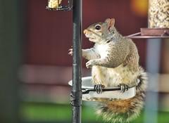 One of the brazen squirrels
