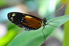 Dallas - Unidentifed Heliconius